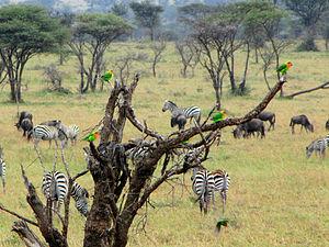 Fischer's lovebird - Flock in tree in Serengeti, Tanzania