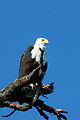 Fish Eagle 2072176743.jpg