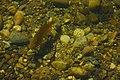 Fish swimming in Lake Sawyer 02.jpg