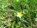 Fleur de Duchesnea indica.jpg