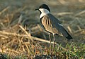 Flickr - Rainbirder - Spur-winged Plover (Vanellus spinosus).jpg