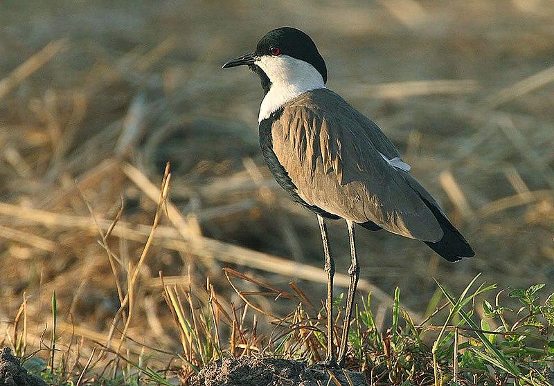 File:Flickr - Rainbirder - Spur-winged Plover (Vanellus spinosus).jpg