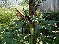 Flickr - brewbooks - Dracunculus vulgaris in our garden.jpg