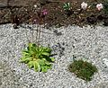 Flickr - brewbooks - Shooting Star - John M's New Rock Garden.jpg