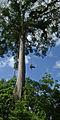 Flickr - ggallice - Kapok tree climber (2).jpg