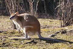 Flinkwallaby Macropus agilis Tierpark Hellabrunn-11.jpg