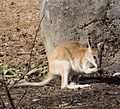 Flinkwallaby Macropus agilis Tierpark Hellabrunn-13.jpg