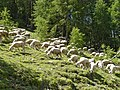 Flock of sheep - panoramio.jpg