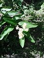 Flor de Upay.JPG