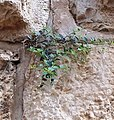 Flora Homot jerusalaim 1.jpg