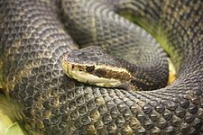 Florida Water Moccasin 056.jpg