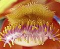 Flower of Cannonball tree - detail.jpg