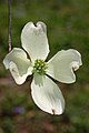 Flowering Dogwood Cornus florida Flower 2000px.JPG