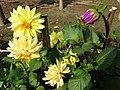 Flowers in Garden of Anand Bhavan (Nehru House) - Allahabad - Uttar Pradesh - India (12564183903).jpg