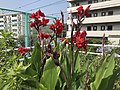 Flowers of Canna indica 20180624.jpg