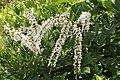 Flowers of Kerala04486.jpg
