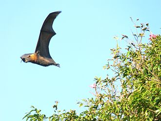 Ecological extinction - Below a certain density threshold, flying foxes are no longer effective seed dispersers.