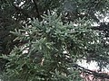 Foliage of Spanish Fir.jpg