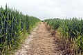 Footpath leading to Cowthorpe - geograph.org.uk - 840659.jpg
