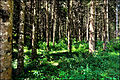 Forêt du Haut-Doubs (Forest of the top-Doubs).jpg