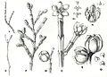 Forest Flora NSW Plate 48 Callitris endlicheri.jpg