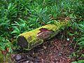 Forest on State Route 19, near Honoka'a, Hawaii (4528910326).jpg