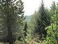 Forested slope north of Blaen-y-cwm farm - geograph.org.uk - 540349.jpg