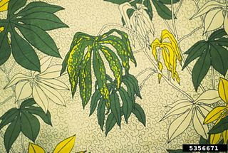 Cassava mosaic virus