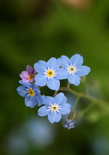 English: Forget-me-not flowers. Türkçe: Unutma...