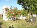 Fortín Olavarría calle Juan Bautista Alberdi al 0 - ceibo (Erythrina crista-galli) 01.JPG