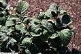 Fothergilla gardenii Mt. Airy 5zz.jpg