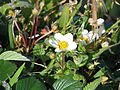 Fragaria chiloensis150043124.jpg