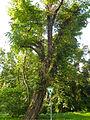 Friedhof Rumbg Robinie Berlin-Frf-2014 1471-1351-120.jpg