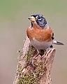 Fringilla montifringilla -Scotland -male-8.jpg