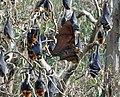 Fruit bat (35883286364).jpg