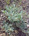 Fujeirah north 1501200713100 Tephrosia apollinea.jpg