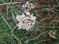Funastrum cynanchoides, Twinevine Milkweed, 2013 - panoramio.jpg