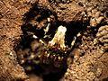 Fungus Weevil - Flickr - treegrow (7).jpg