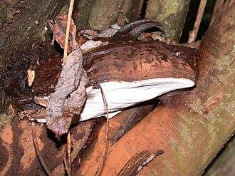Ganoderma brownii - Image: G. brownii