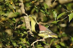 Grey-fronted green pigeon - Image: GFG Pigeon DSC9657