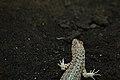 Galápagos lava lizard (4229127148).jpg