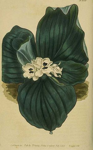 Kaempferia galanga - Drawing from an 1805 issue of The Botanical Magazine