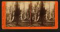 Galen's Hospice, Mariposa Grove, Mariposa County, Cal, by Watkins, Carleton E., 1829-1916 7.png