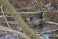 Gallinule poule d'eau (Gallinula chloropus) - 6028.jpg