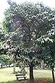Garcinia xanthochymus 01.jpg