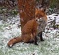 Garden Fox 1 (6817828047).jpg