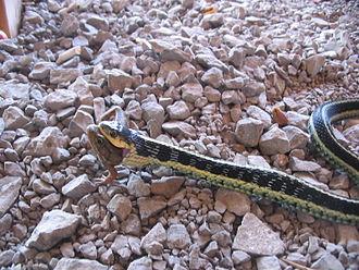 Garter snake - Eating a frog