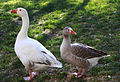 Geese - Public Domain.jpg