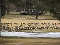 Geese in a Fort Collins baseball field (11655363873).jpg