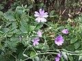 Geranium pyrenaicum sl13.jpg